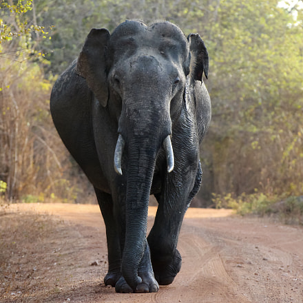 Wild Elephant at Yala, Canon EOS 650D, Canon EF 28-300mm f/3.5-5.6L IS