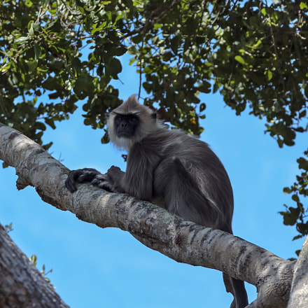 Grey Langur In a, Canon EOS 650D, Canon EF 28-300mm f/3.5-5.6L IS