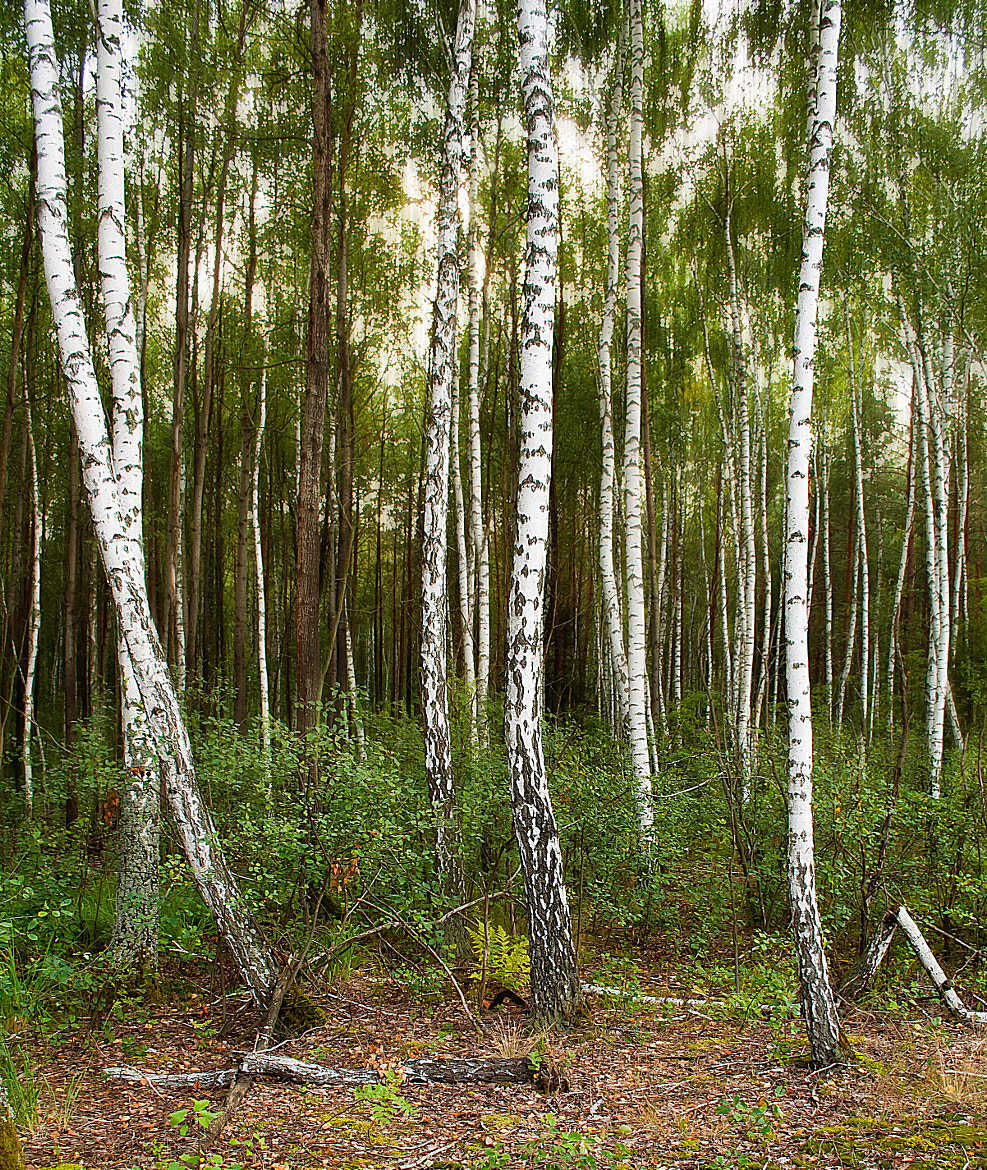 Photograph Birch forest by Inna Petrova on 500px