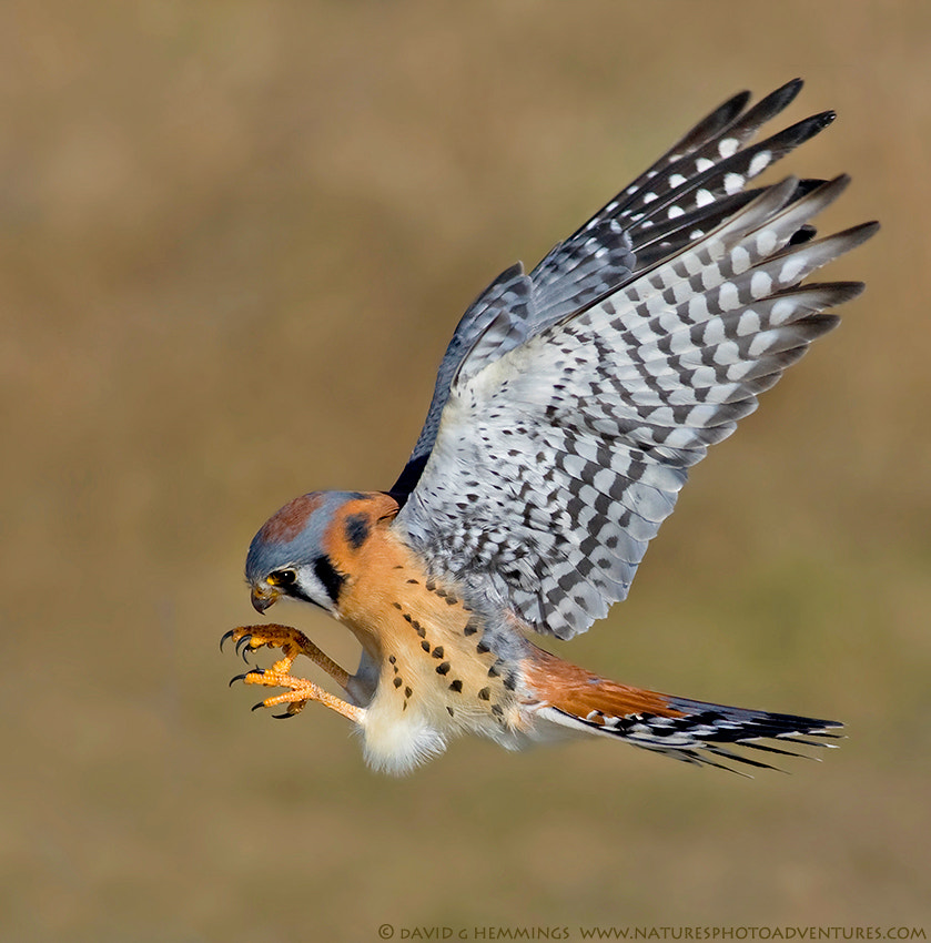 Photograph Male american Kestrel by David Hemmings on 500px