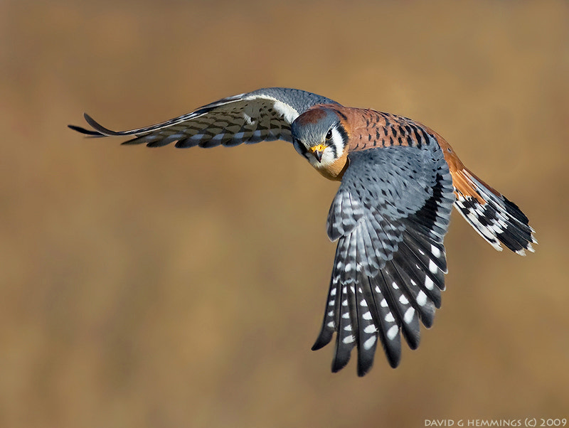Photograph American Kestrel by David Hemmings on 500px