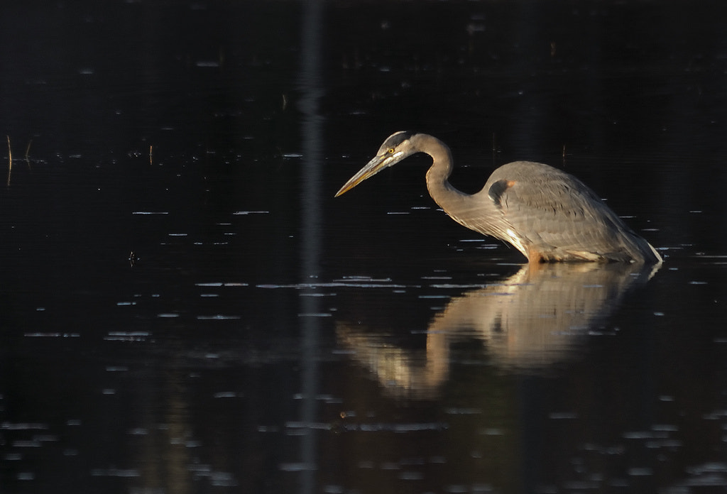 Photograph Great Blue Heron by Mark Schwall on 500px