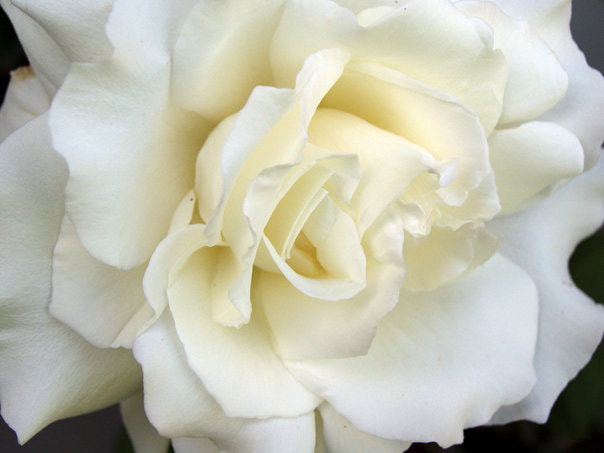 Photograph White Rose by Lusi Bainivalu on 500px