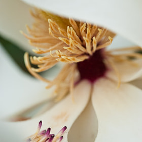 Magnolia by Danny Pugh (dannypugh110)) on 500px.com