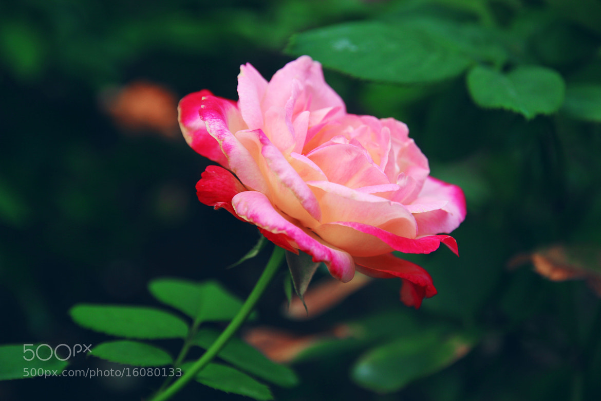Photograph Blooming Rose by Joy Huang on 500px