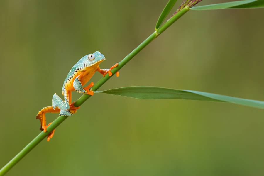 Fringed Leaf Frog by Milan Zygmunt