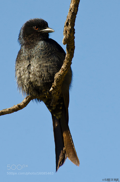 Photograph Forked-Tailed Drongo by Elaine  de Bruin on 500px
