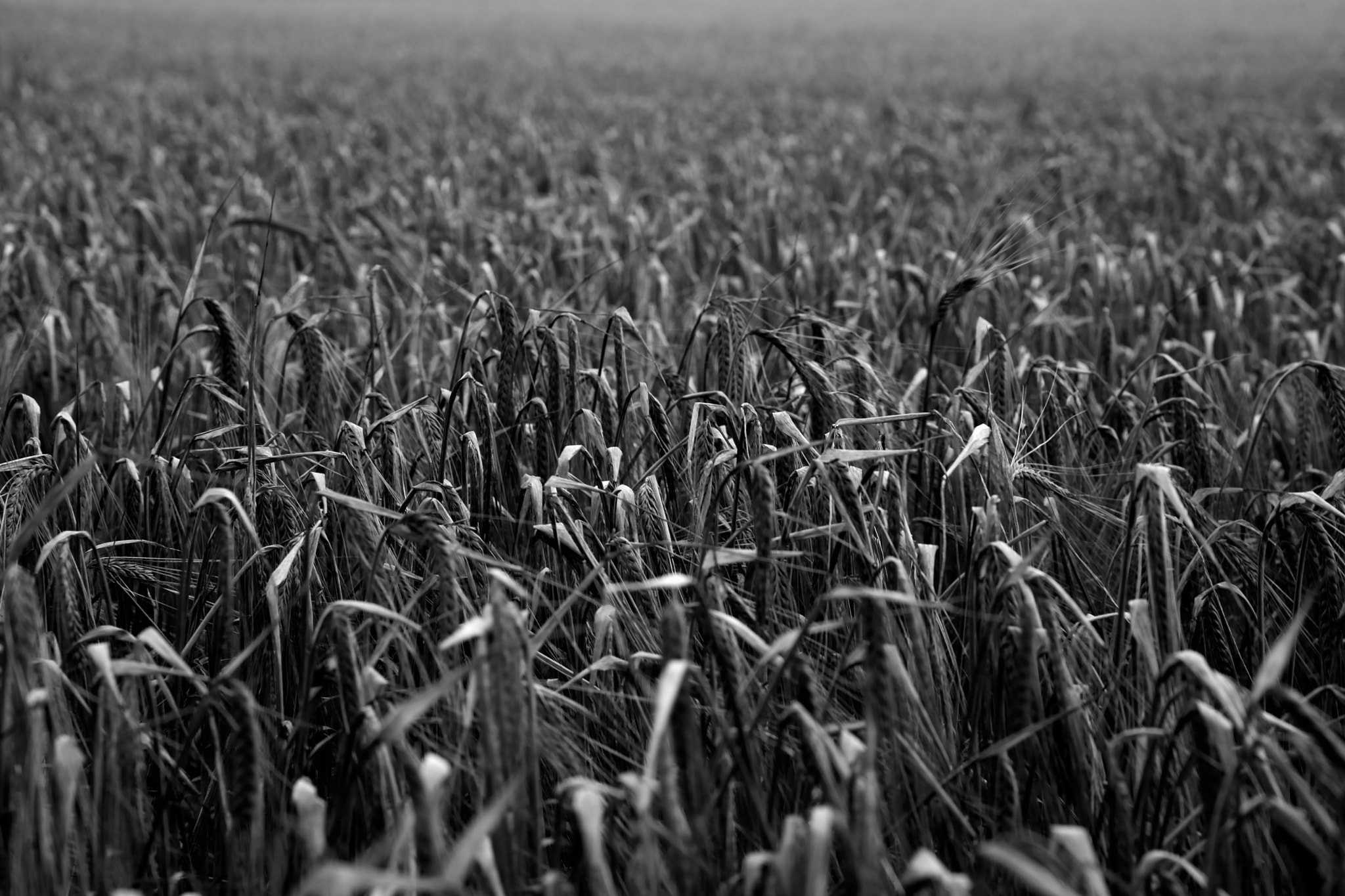 Photograph Corn field by Steven Parker on 500px