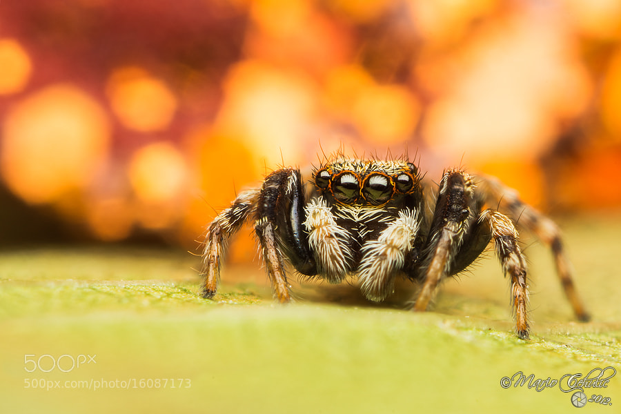 Photograph Pseudeophrys lanigera jumping spider by Mario Čehulić on 500px