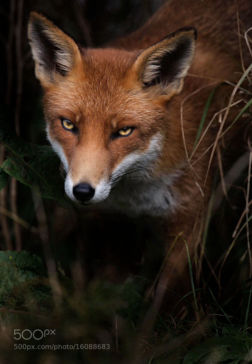 Photograph Mr Fox! by Sue Demetriou on 500px