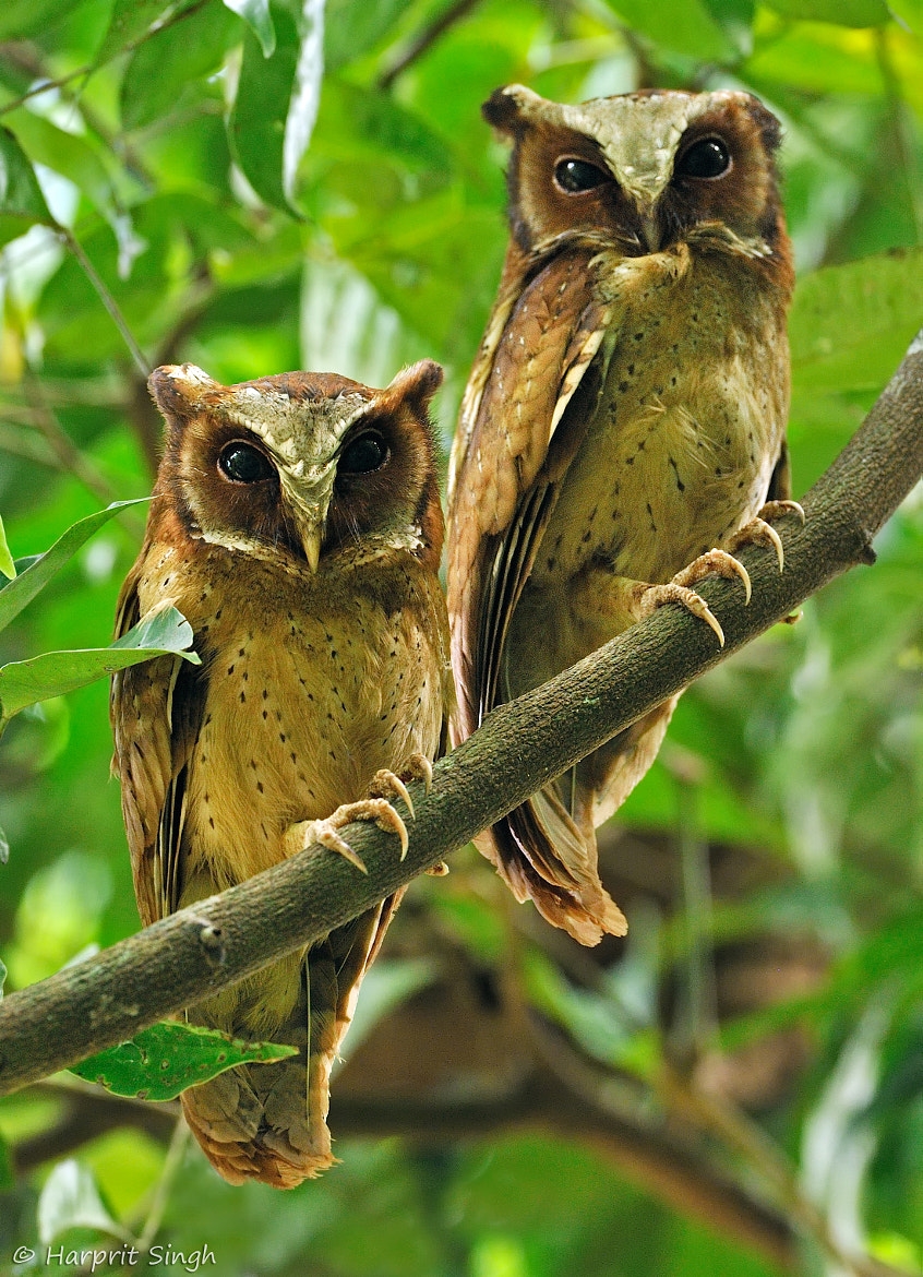 Photograph White Fronted Scops Owl Pair by Harprit Singh on 500px