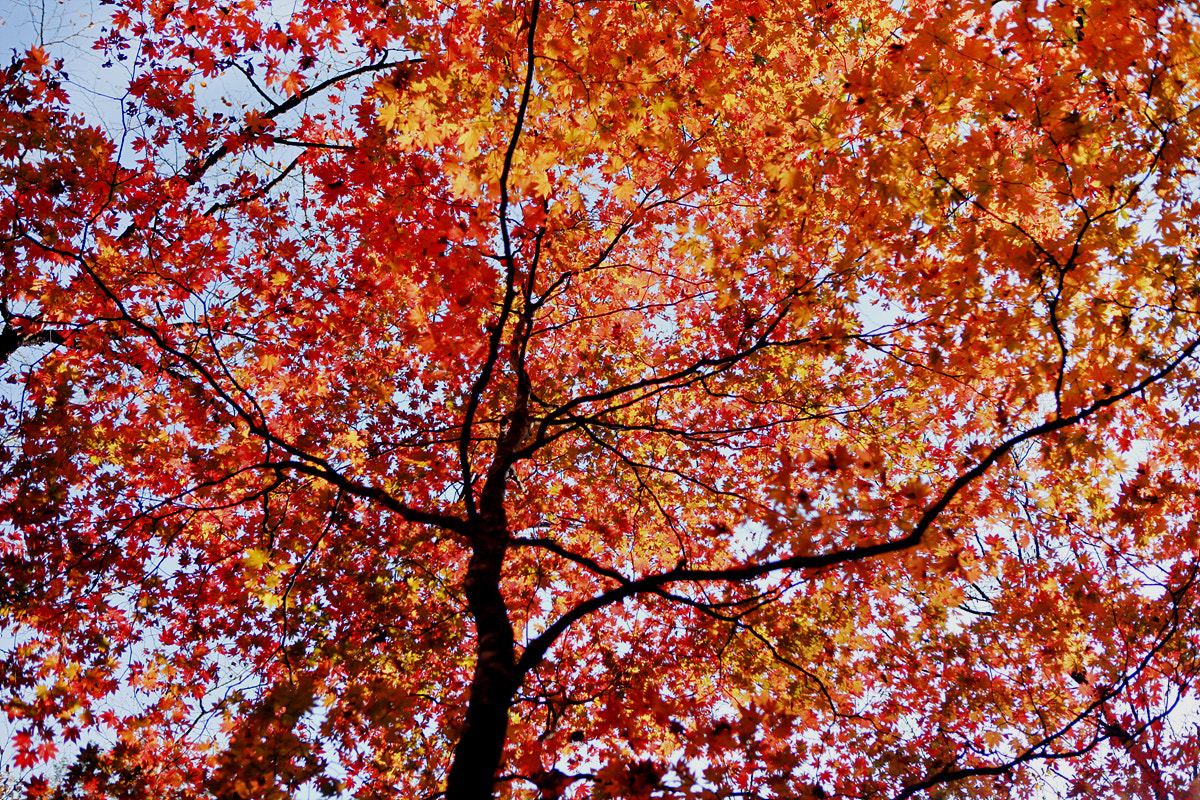 Photograph Maple trees by Reonis  on 500px
