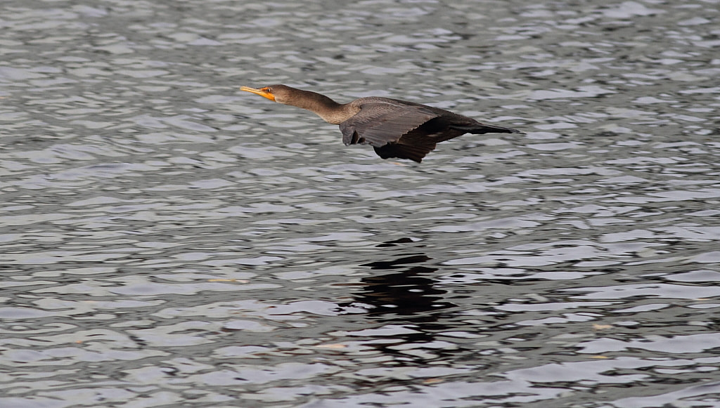 Photograph sea skimming cormorant by H Singh on 500px