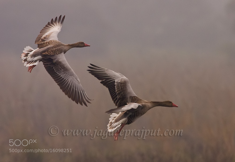 Photograph Greylag Geese by Jagdeep Rajput on 500px