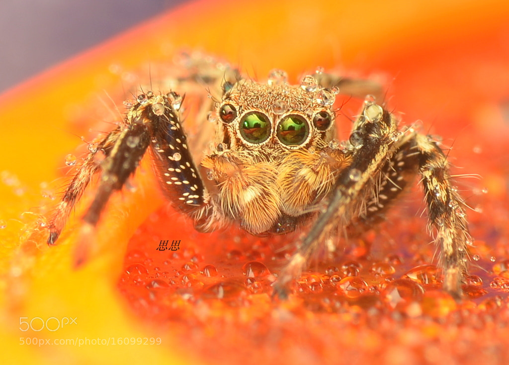 Photograph jumper spider by Sisi Tan on 500px