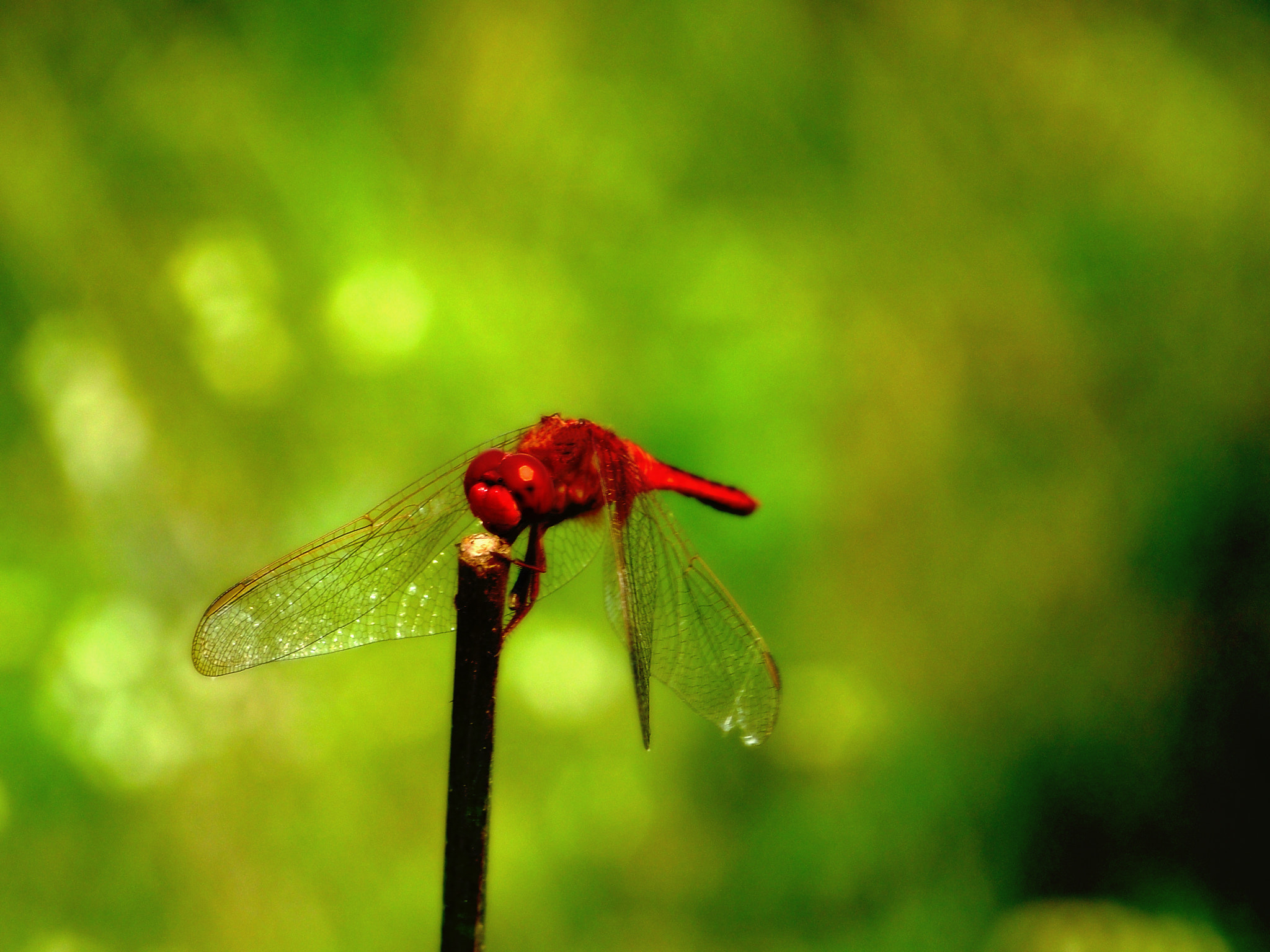 Photograph Red Dragonfly by Gopal Veeranala on 500px