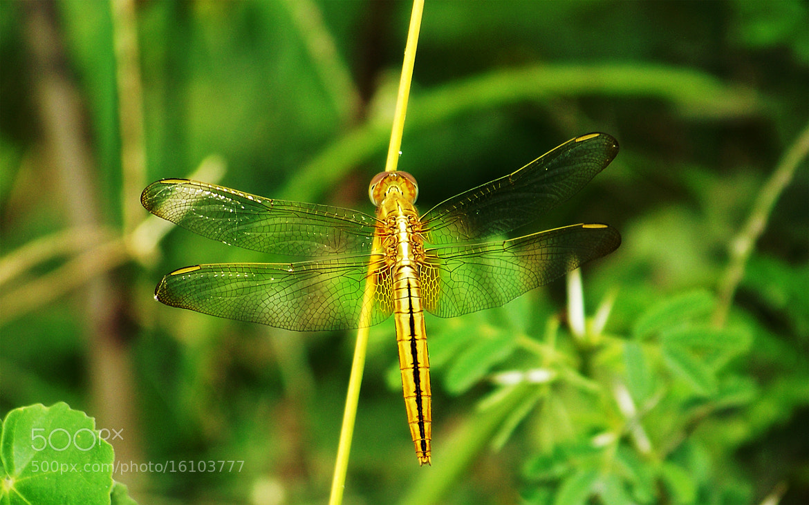 Photograph Dragonfly in Gold color by Gopal Veeranala on 500px
