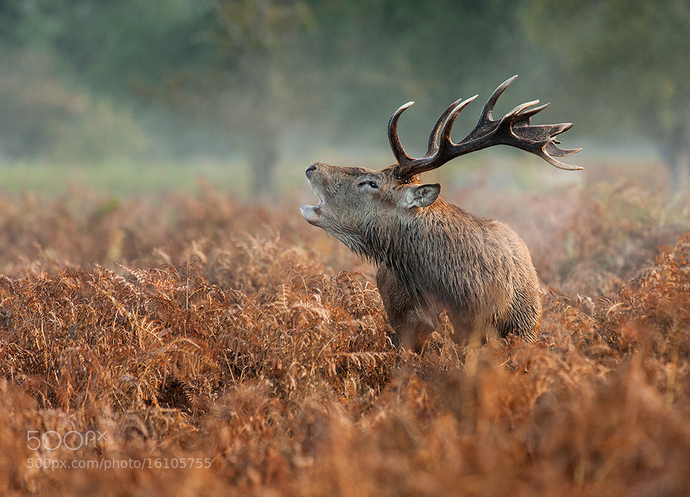 Photograph Stag in ferns by Geoffrey Baker on 500px