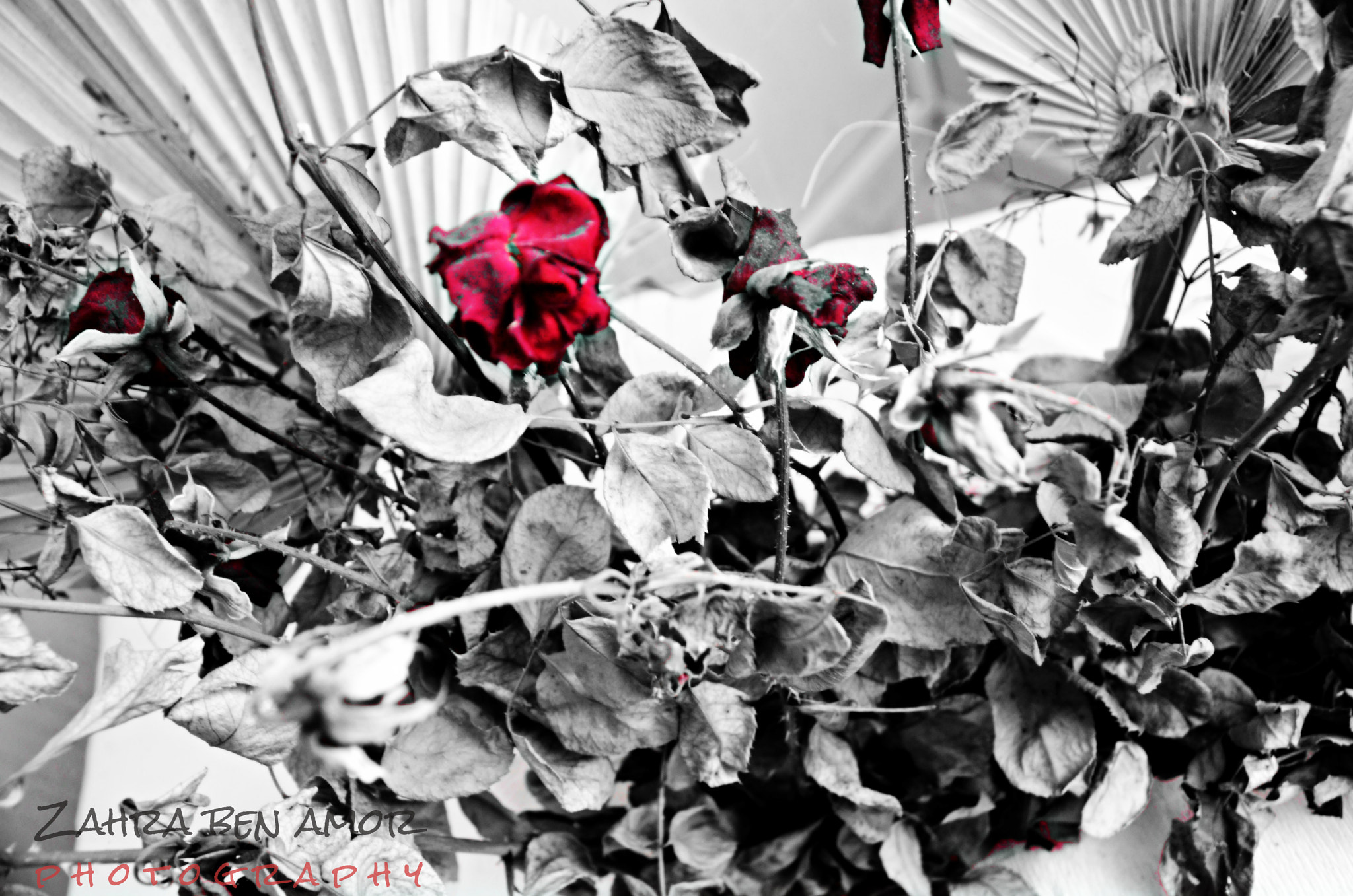 Photograph roses by zahra ben amor on 500px