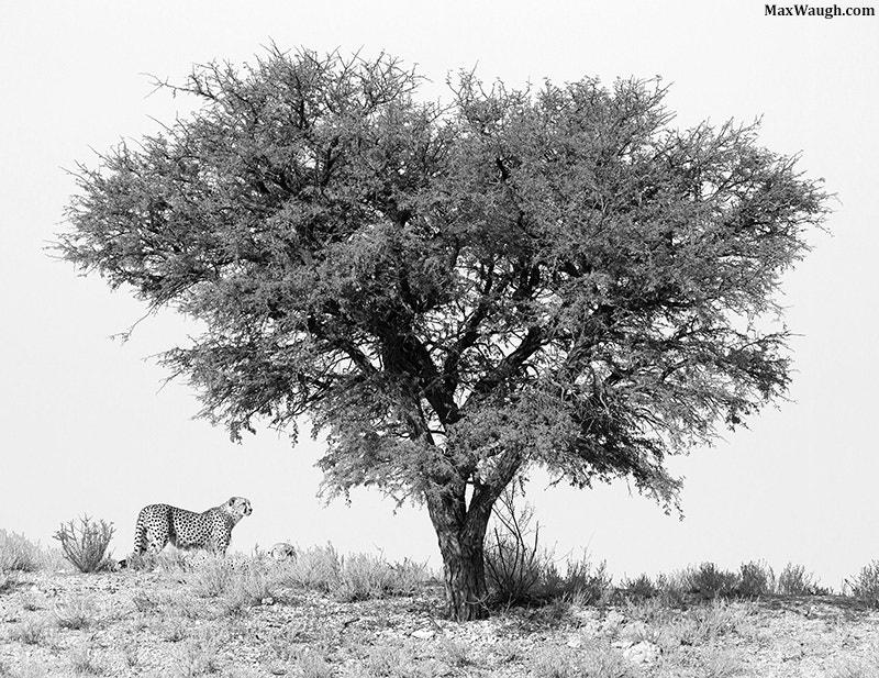 Photograph Kalahari Cheetahs by Max Waugh on 500px