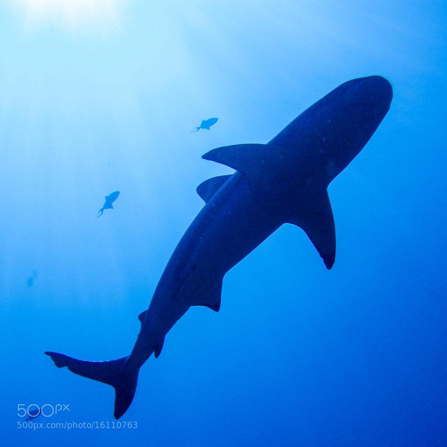 Shark in Moorea
