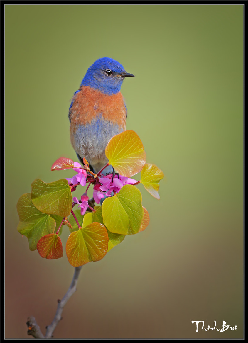Photograph Western Blue Bird by Thinh Bui on 500px