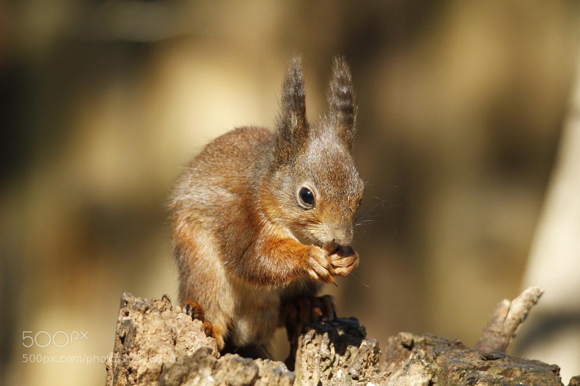Photograph British Red Squirrel by Ian Rentoul on 500px