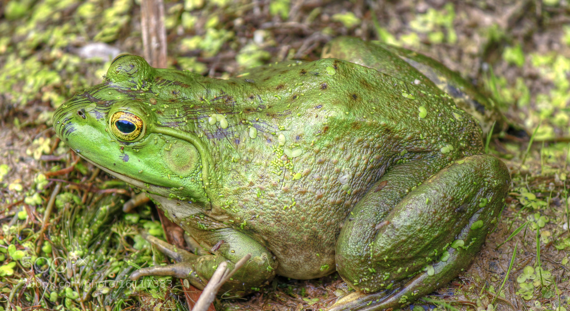 Photograph Bullfrog by Anna-Lee Cappaert on 500px