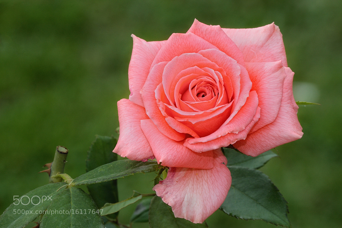 Photograph Rosa by Fernando_42 yomismo on 500px