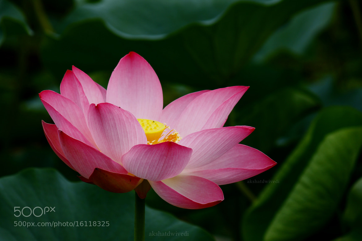 Photograph Lotus by akshat dwivedi on 500px