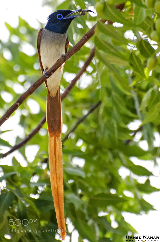 Photograph Asian Paradise Flycatcher by Hansu Nahar on 500px