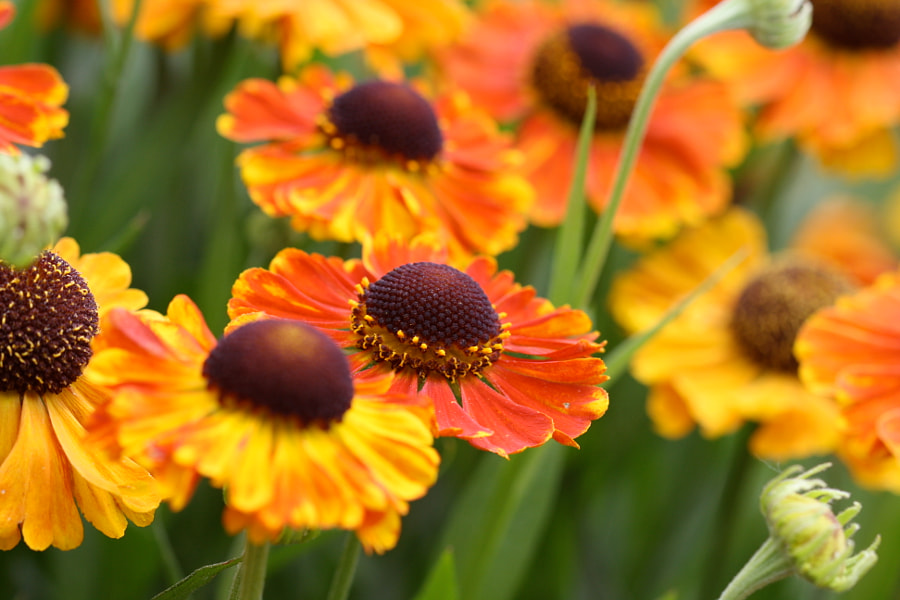 Cluster of Helenium with focus on one