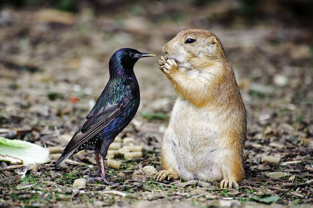 Photograph Jerky Starling and the Imperturbable Prairie Dog by Bryan Spaeth on 500px
