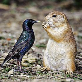 Jerky Starling and the Imperturbable Prairie Dog by Scott Spaeth (scootergeek)) on 500px.com