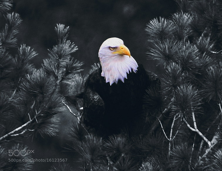 Photograph Bald Eagle by Bill McCormack on 500px
