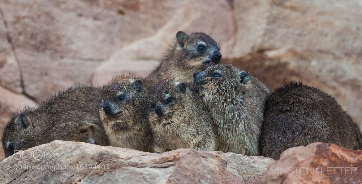 Photograph Dassie Posse = Rock Hyrax = Closest Relative is the Elephant = True they even have tiny tusks by Winston Kletter on 500px