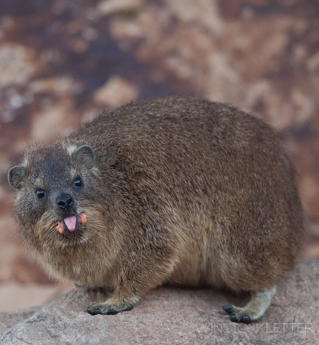 Photograph Dassie = Rock Hyrax = Closest Relative is the Elephant = True they even have tiny tusks by Winston Kletter on 500px