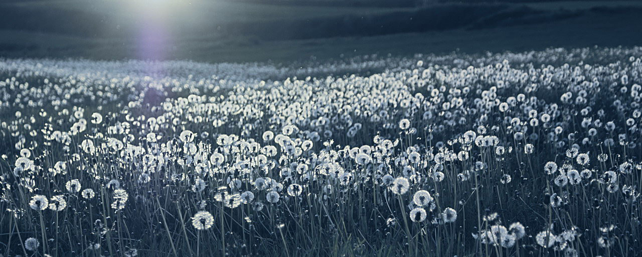 Photograph Dandelions by Volodymyr Nikitenko on 500px