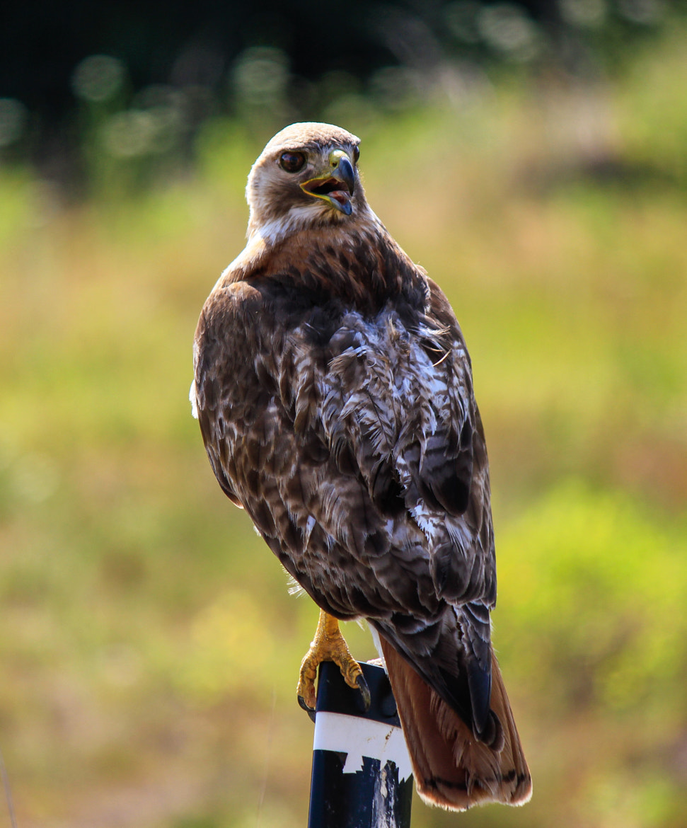 Photograph Resting Hawk by Anna-Lee Cappaert on 500px
