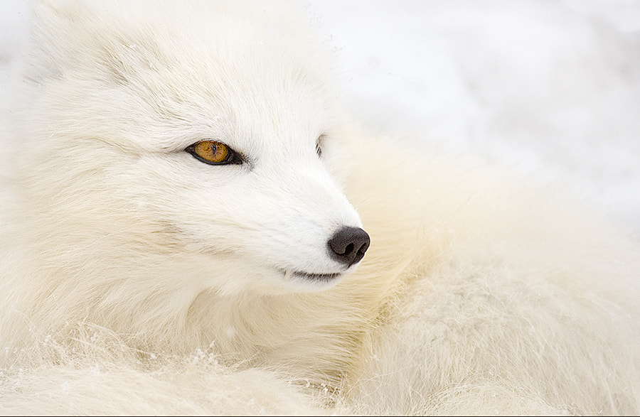 Photograph Snowy Arctic Fox by Christopher R. Gray on 500px