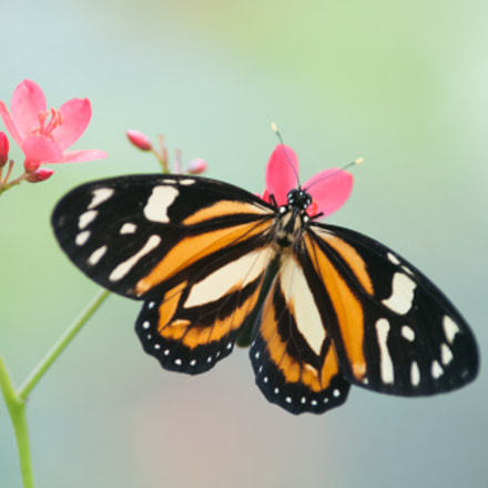 Tropical Milkweed butterfly, Nikon D300S, Tamron SP AF 70-200mm f/2.8 Di LD (IF) Macro (A001)