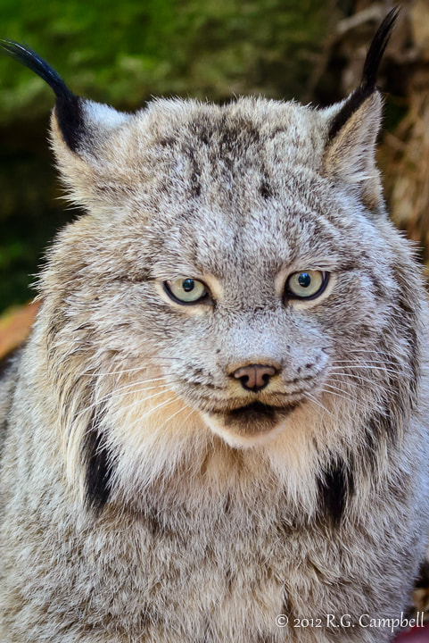 Photograph Canadian Lynx by Russ Campbell on 500px