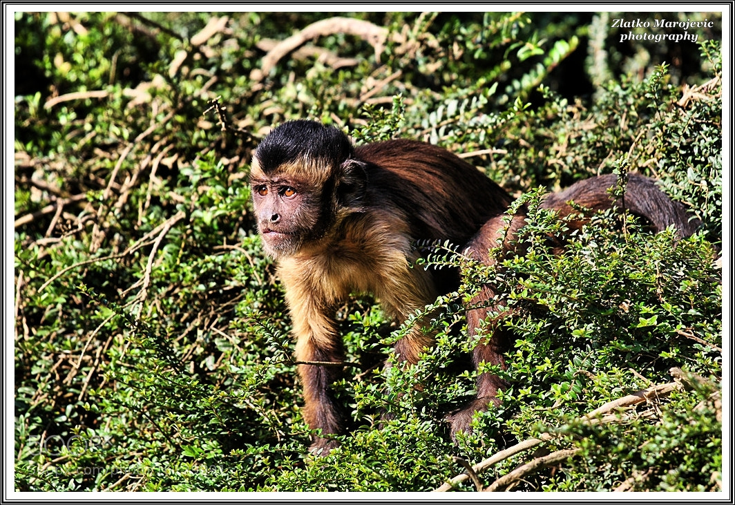 Photograph monkey by Zlatko Marojevic on 500px
