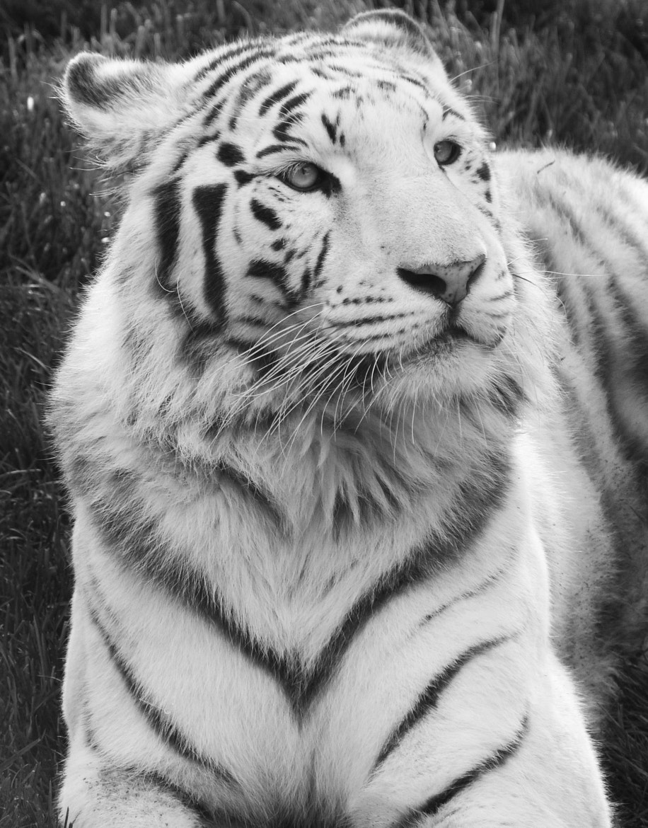 Photograph White Tiger by Alice Botturi on 500px