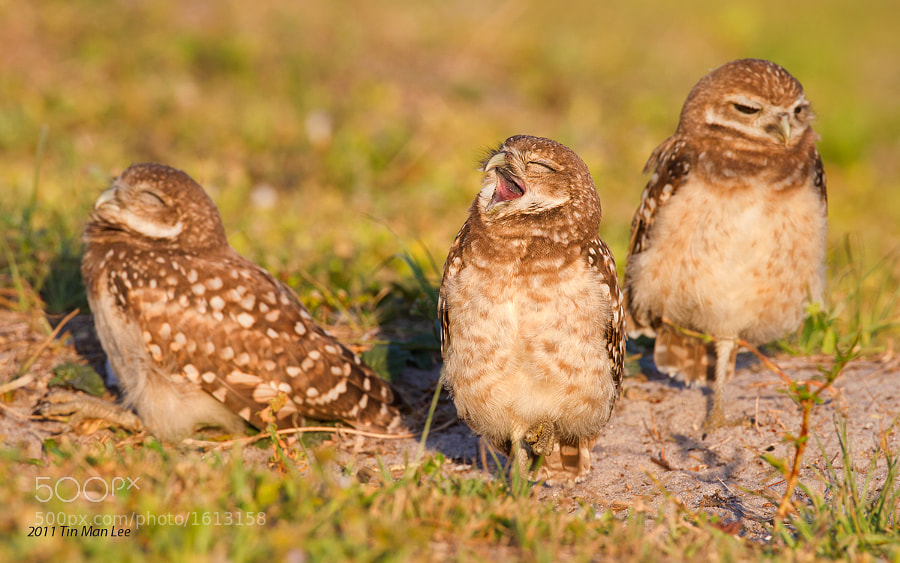 Photograph Not another Monday, Burrowing owls, Cape Coral, Florida by Tin Man on 500px