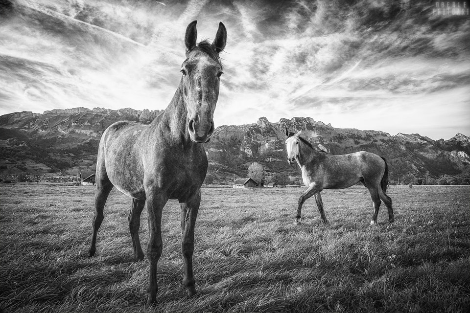 Photograph horses by Frank & Judith Oberle on 500px
