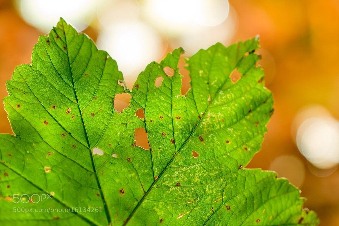 Photograph Damaged leaf by Wesley Guijt on 500px