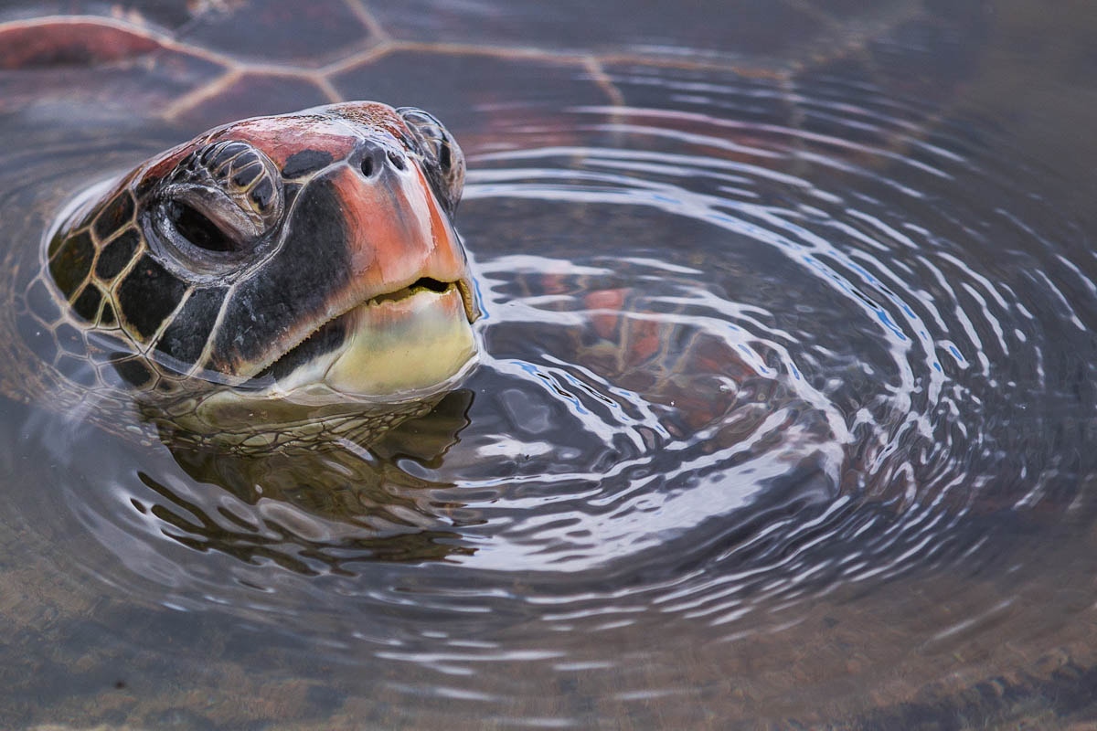 Photograph Galapagos turtle by Olivier Chapelle on 500px