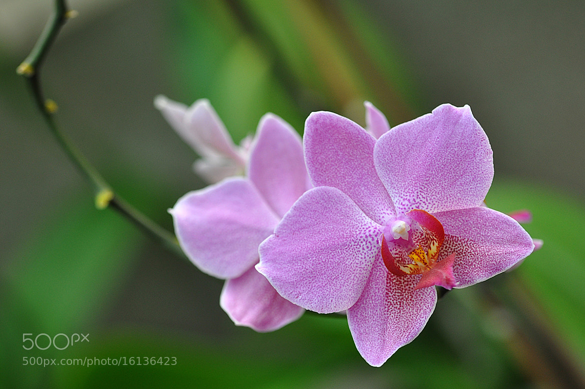 Photograph Orchid by Sorin Petculescu on 500px