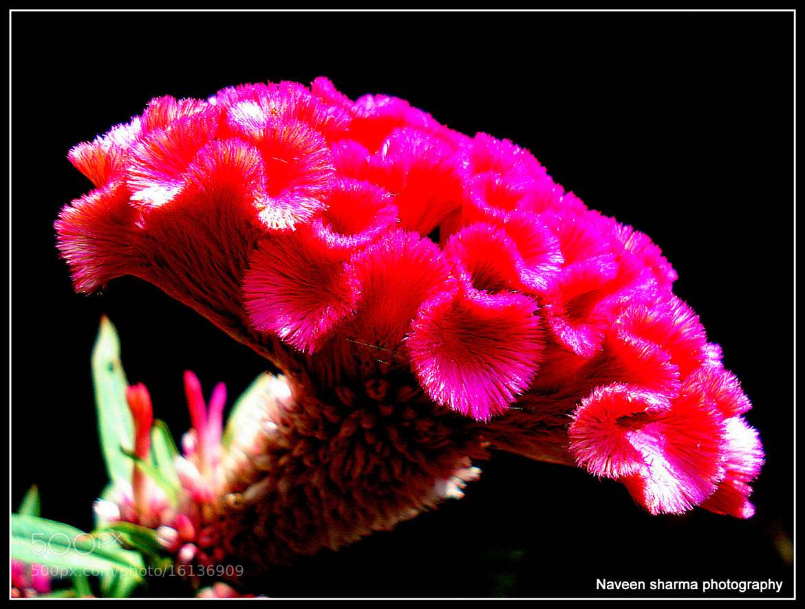 Photograph Comb flower by naveen sharma on 500px
